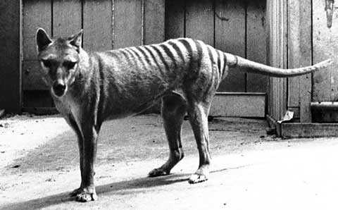 Black and white photo of the extinct Tasmanian Tiger.